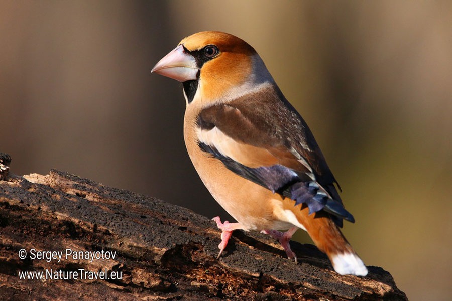 Bird hide photography, Hawfinch bird hide photography