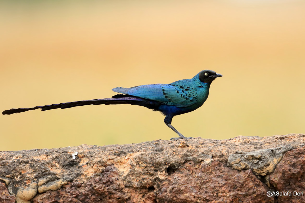 Long-tailed-Glossy-Starling-Farakunku-Lodges-Bed-and-Birding-Gambia