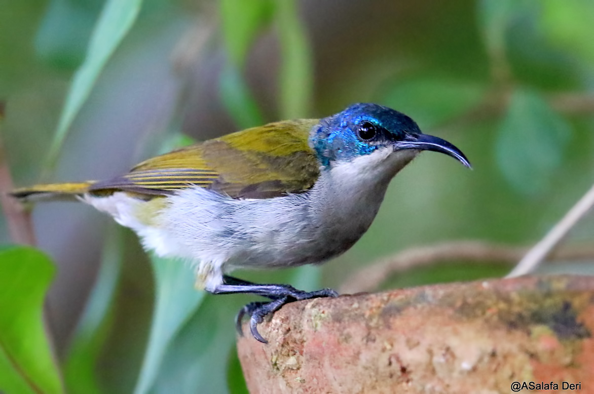 Green-headed-Sunbird-Farakunku-Lodges-Bed-and-Birding-Gambia