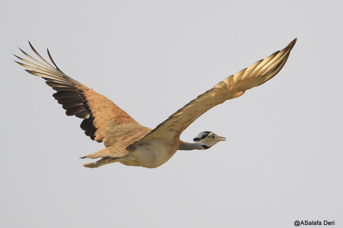White-bellied-Bustard-Farakunku-Lodges-Bed-and-Birding-Gambia