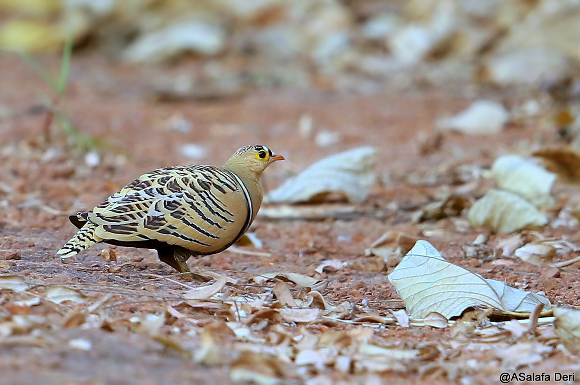 Four-banded-Sandgrouse-Farakunku-Lodges-Bed-and-Birding-Gambia