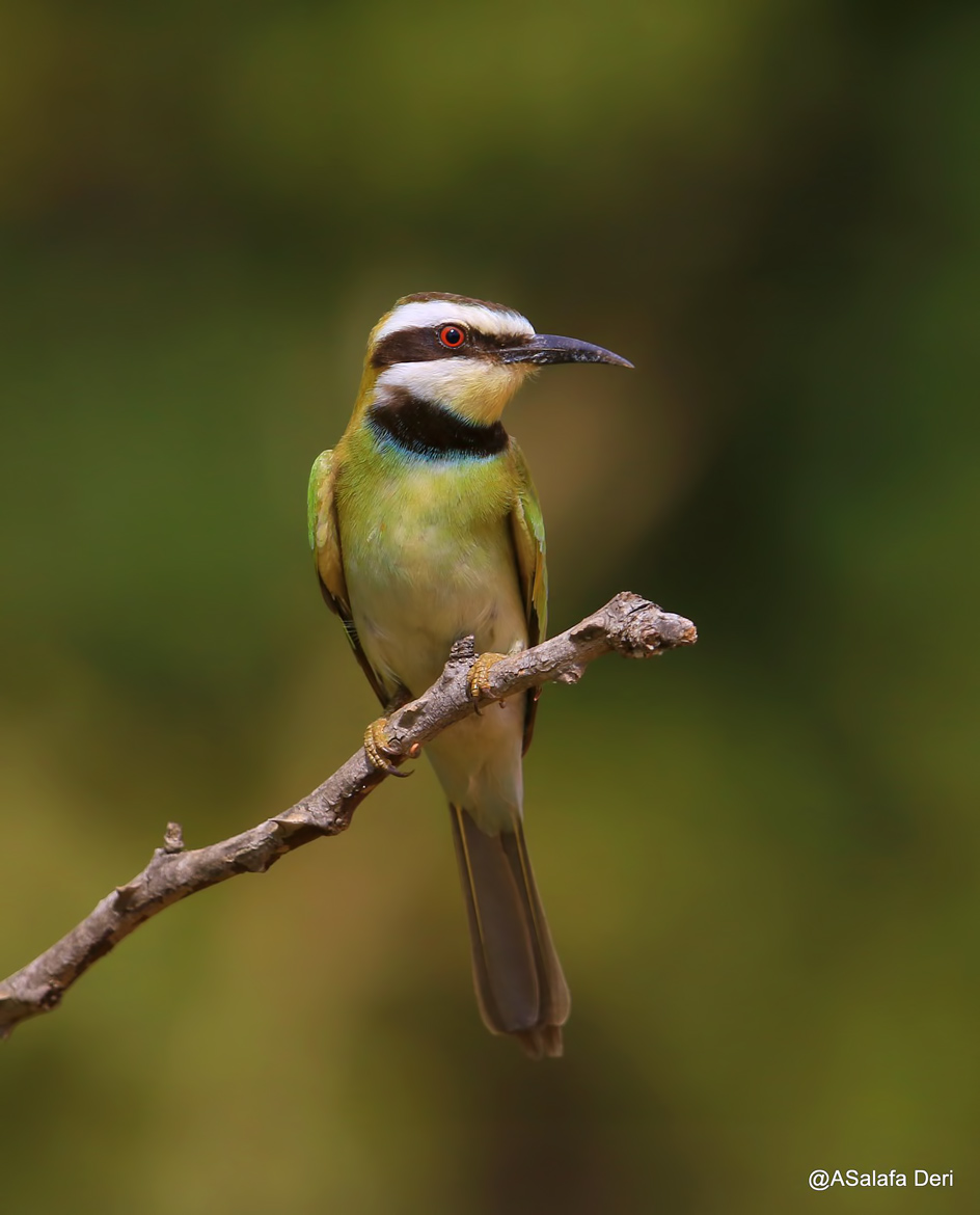White-throated-Bee-eater-Farakunku-Lodges-Bed-and-Birding-Gambia