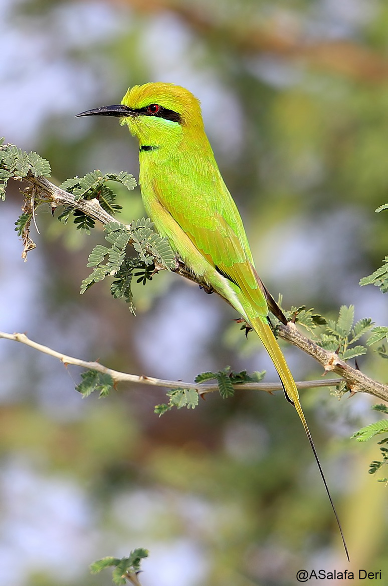 African-Green-Beeeater-Farakunku-Lodges-Bed-and-Birding-Gambia