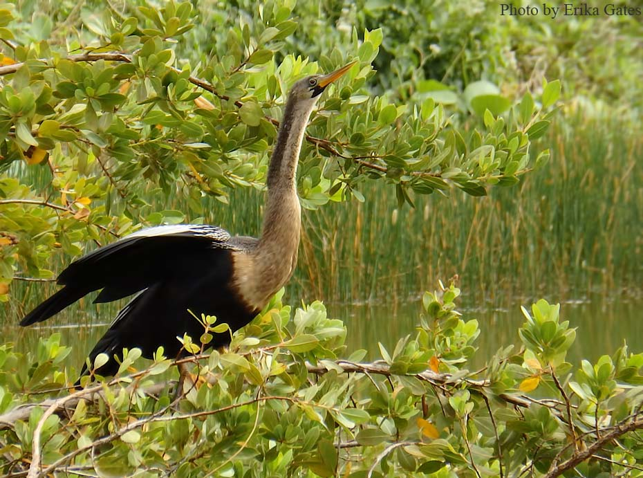 Grand Bahama Birders' B&B, Bed and Birding Bahamas, Accommodation for Birders