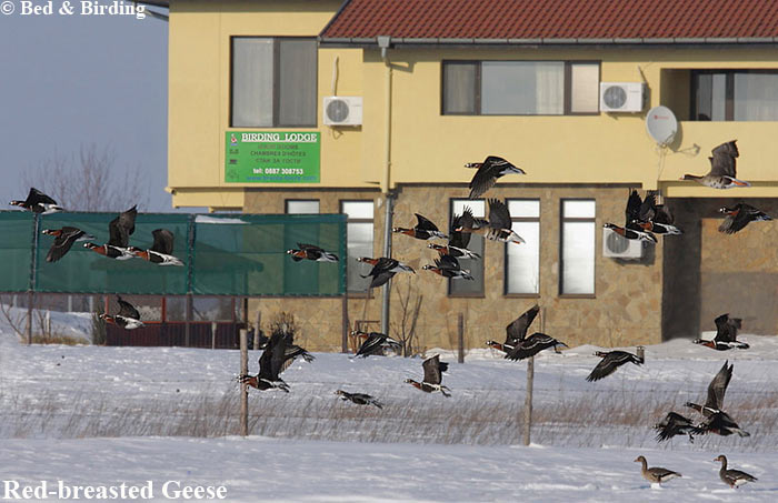 Red-breasted-Geese, Winter-Birdwatching, Branta-Tours