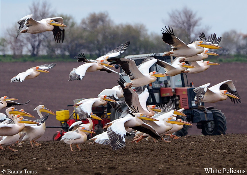 White-Pelicans-Pelecanus onocrotalus-in-front-of-the-bird-house