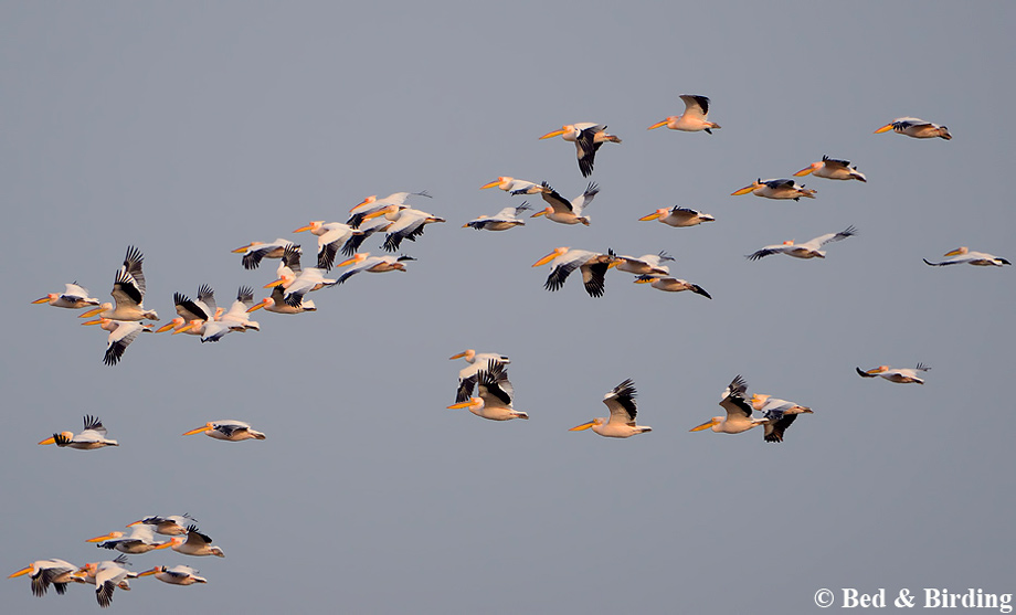 White Pelicans migrating over Branta Birding Lodge, Via Pontica flyway
