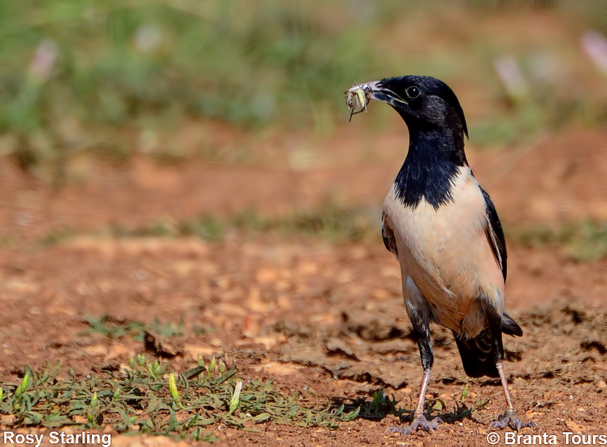 Rosy Starling, Pastor roseus, Black Sea coast, Steppe of Kaliakra, Cape Kaliakra