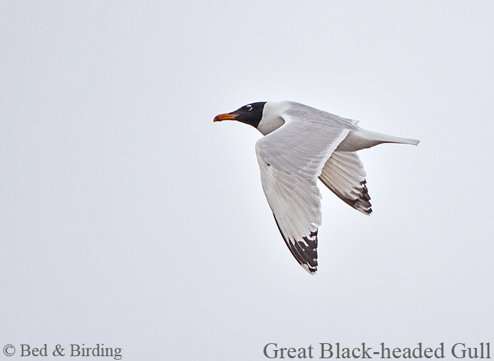 Pallas's Gull, Winter Birding, Birding in Burgas, St George Hotel, Bed and Birding