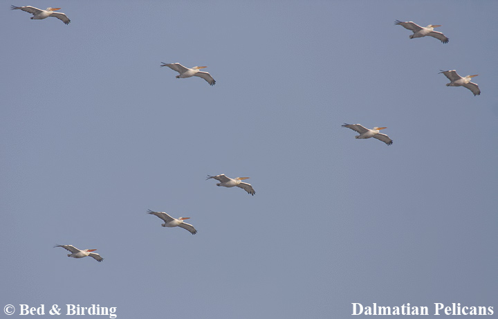 Autumn migration, Soaring birds, Bed & Birding, Via Pontica flyway