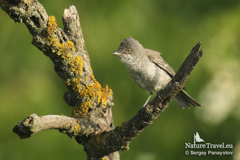 Bird hide photography, Barred warbler