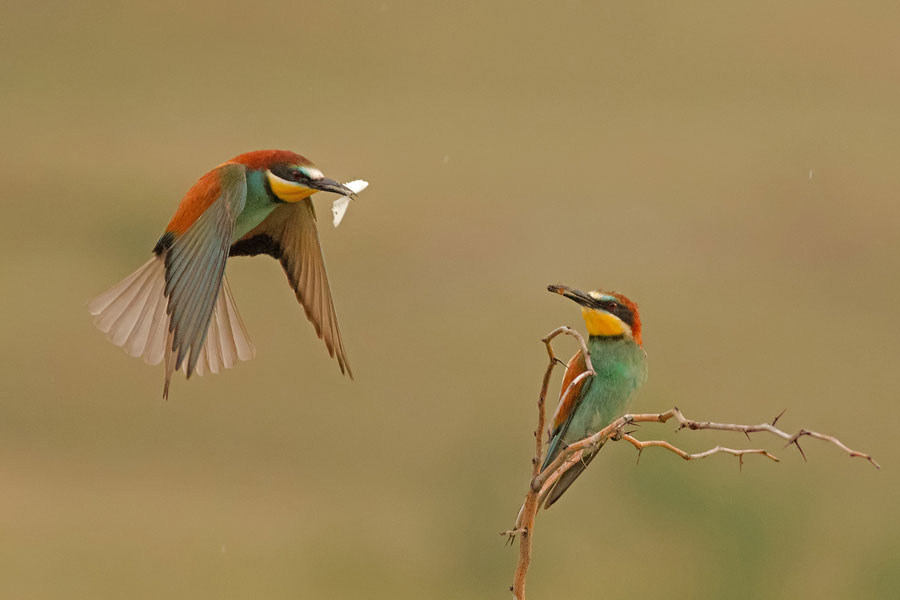 Bird hide photography, Bee-eaters
