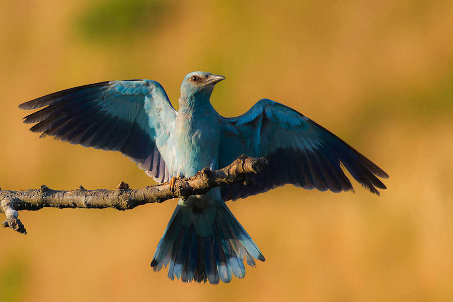 European roller bird photography, (c) Piotr Remersz