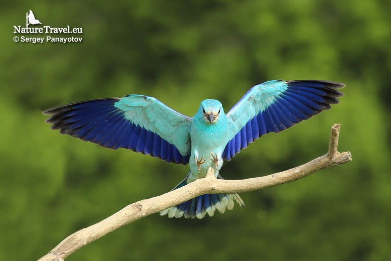 Bird hide photography, European roller