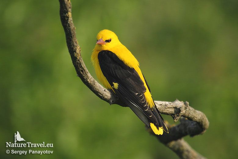 Bird hide photography, Golden oriole