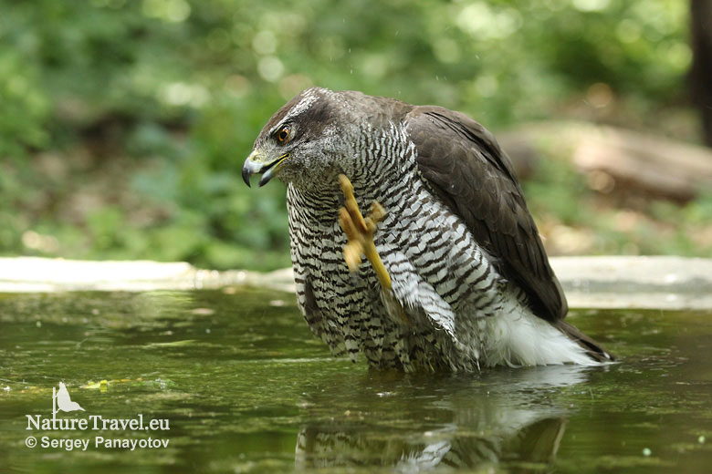Bird hide photography, Goshawk photography