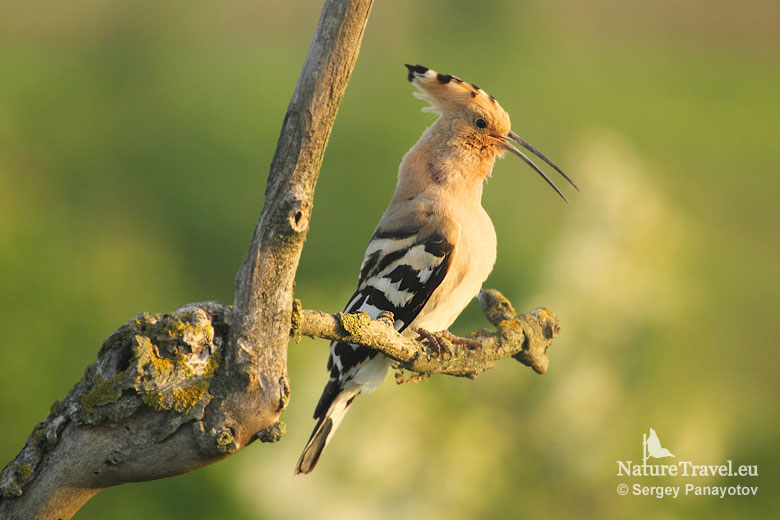 Hoopoe photography, Bird hide photography