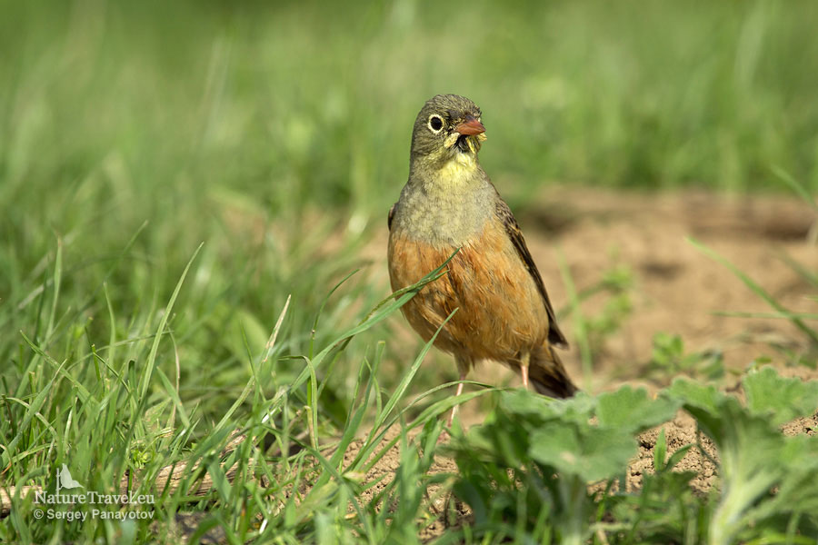 Ortolan bunting photography, bird hide photography
