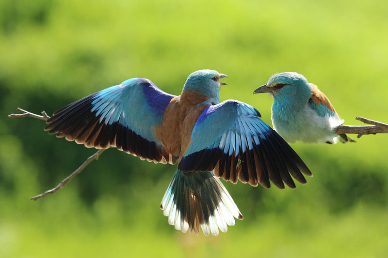 European roller bird photography
