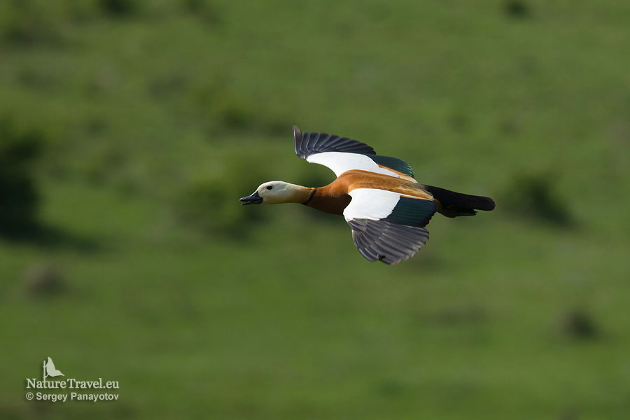 Bird hide photography, Ruddy shelduck