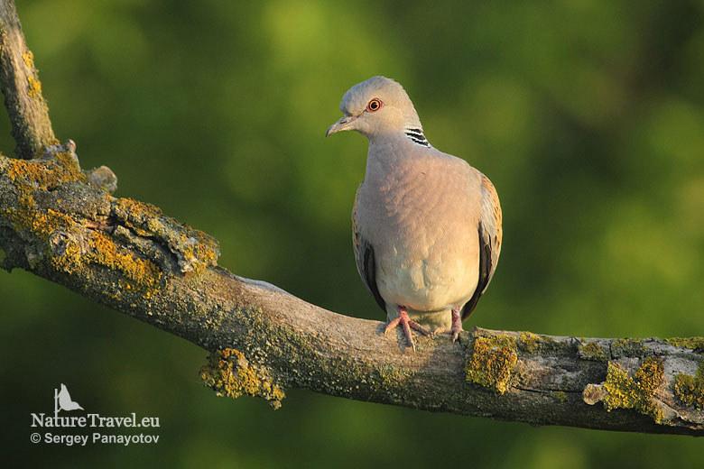 Bird hide photography, Turtule dove photography