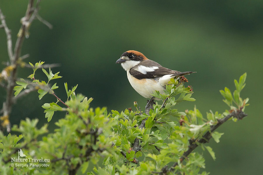 Bird hide photography, Woodchat shrike photography