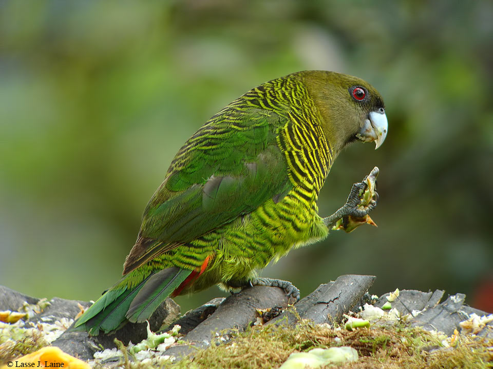 Rondon-Ridge-Lodge, Papua-New-Guinea, Bed-&-Birding, PNG-Birding