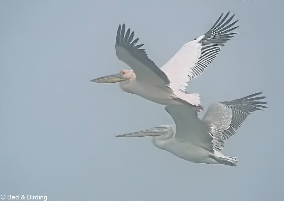 Young Dalmatian Pelican and White Pelican flying together
