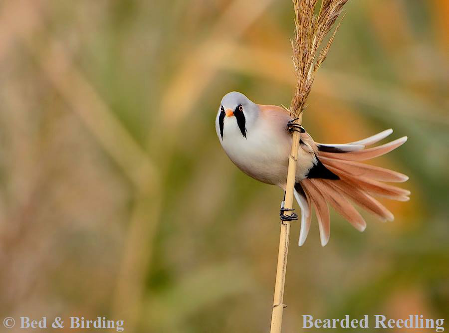 Birding North West England