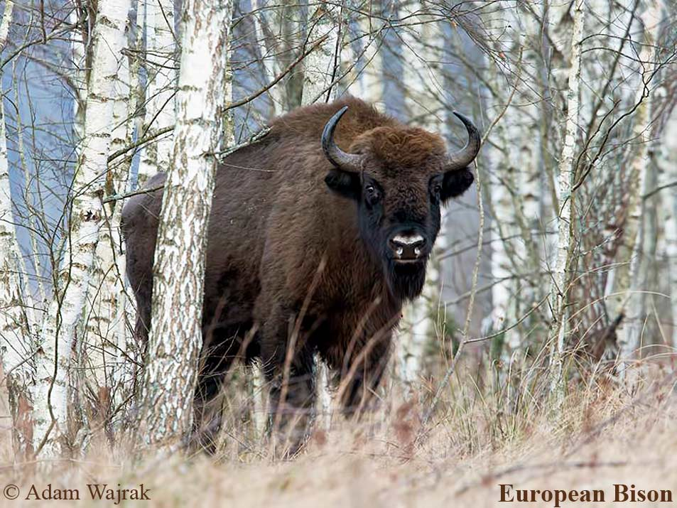 European-bison-is-the-symbol-of-Białowieża-National-Park